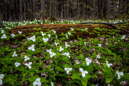 trillium: Moss Covered Log And Wild White Trillium. Fallen log surrounded by wild white trillium. Trillium are the official wildflower of Ontario and Ohio. Certain types are considered endangered and are protected. Stock Photo