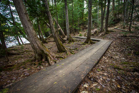 crooked: Crooked Boardwalk Path In The Woods.  Winding wooden boardwalk through a cedar forest with trees leaning towards the river. Tahquamenon Falls State Park.
