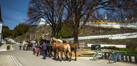 belgian horse: Mackinaw Island, Michigan, USA - May 6, 2016: Draft horses return to Mackinaw Island as the tourist season begins. The island bans autos. Draft horses are utilized to transport goods and tourists.