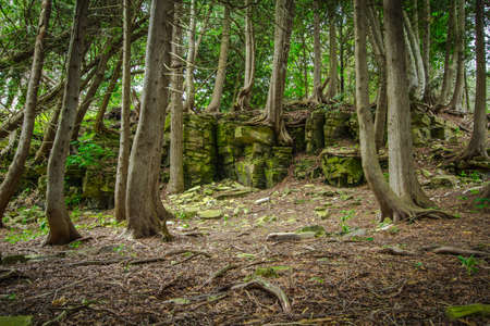 Cedar Forest In Northern Michigan. Ancient cedar trees stubbornly cling to a rock face in the forests of northern Michigans Upper Peninsula. Stock Photo