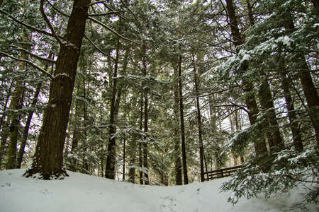 michigan snow: Winter Wonderland Forest With Fresh Falling SnowFresh snow covers a lush green pine forest in northern Michigan.
