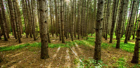 Northern Michigan Forest Panorama. Pine tree forest in northern Michigan in panoramic orientation and natural forest earth tone colors.