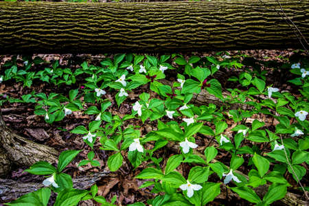 Seasonal Spring Wildflower Nature Background. Spring trillium carpet a northern forest floor. Trillium are protected in the wild and are the official wildflower of Ontario and Ohio.