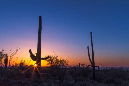Saguaro Cactus Sunset. Rare large Saguaro cactus in the Sonora desert at sunset in Saguaro National Park. Tucson, Arizona, USA.