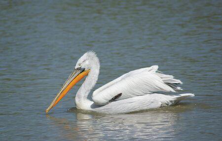 pelican Stock Photo - 6855946