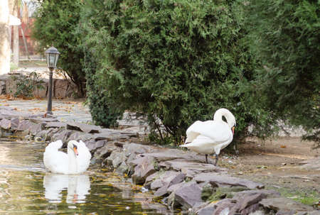 White swans near the lake photo