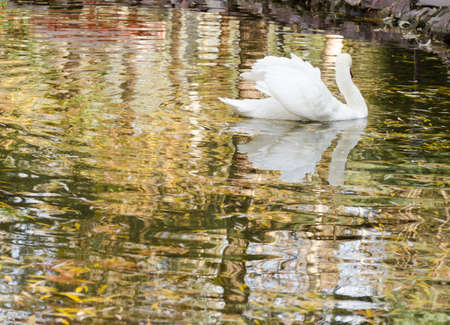 Swan in to the lake photo