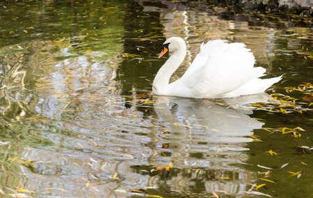 Swan photo