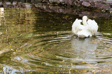 Swan in lake photo