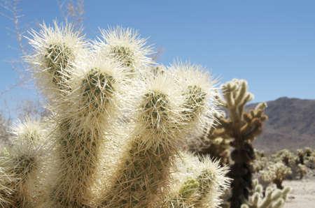 joshua: Cactus in Joshua Tree National Park USA