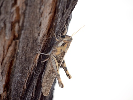 caelifera: Arizona Grasshopper