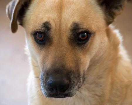 soulful eyes: Shepherd Mix Dog Stock Photo
