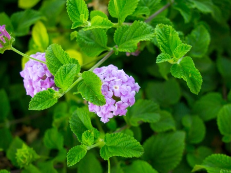 trailing: Purple Trailing Lantana Stock Photo