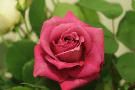 universal love: �nica rosa roja s�mbolo universal del amor y la belleza
