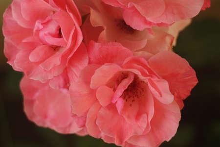 universal love: Pocas rosas rojas s�mbolo universal del amor y la belleza
