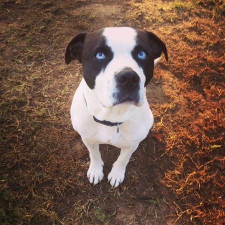 white dog: Blue eye dog sitting Stock Photo