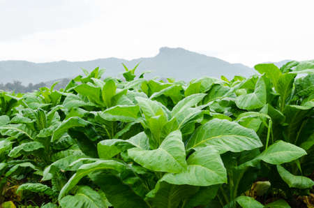 linn: Tobacco Nicotiana tabacum Linn farm