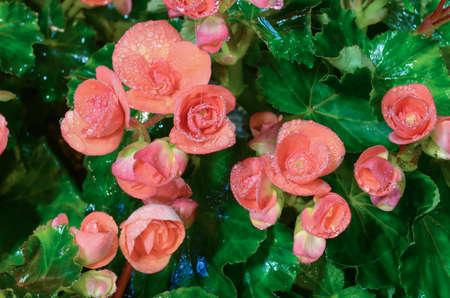 begonia: Flor Begonia