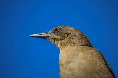 brewers: The Female Brewers Blackbird at Malibu Lagoon in September