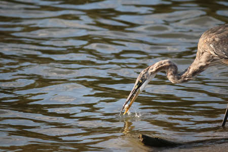 ocean fishing: The Great Blue Heron is Fishing at Malibu Lagoon Stock Photo