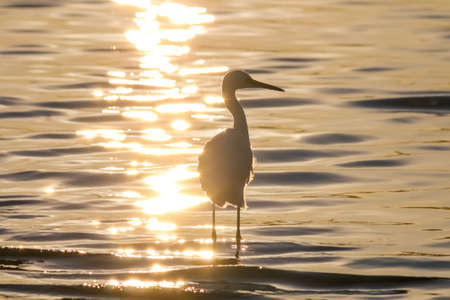 malibu: The Silhouette of the Snowy Egret at the Malibu Lagoon Stock Photo