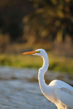 malibu: The Great Egret at Malibu Lagoon in September Stock Photo