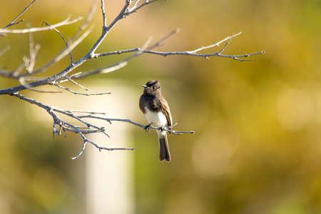 perching: The Wild Black Phoebe Perching on the Tree at Malibu