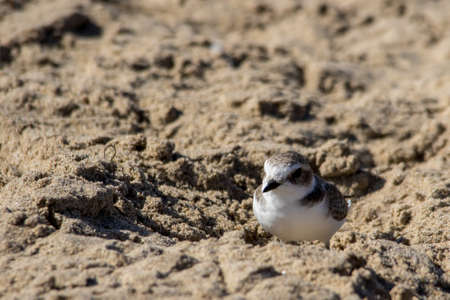 plover: The Cute Little Snowy Plover Walking Around the Beach Stock Photo