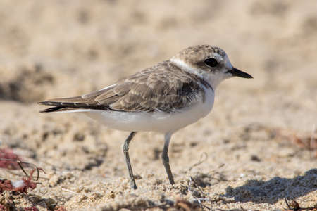 The Cute Little Snowy Plover Walking Around the Beach Stock Photo