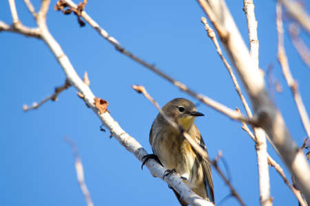 warbler: The Female Yellow-rumped Warbler Perching on the Tree