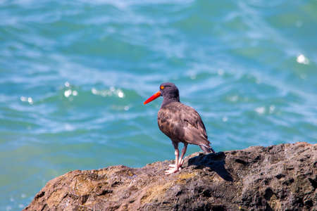 The Black Oystercatcher Catching Oysters by the Beach