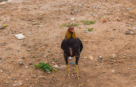 bantam hen: chichen in field Stock Photo