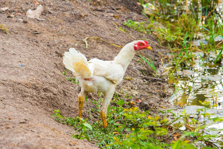 bantam hen: in the farm Stock Photo