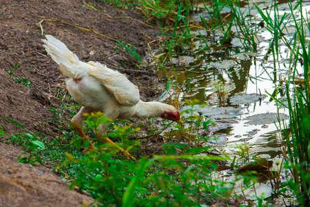capon: in the farm Stock Photo