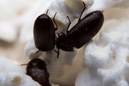 clambering: Closeup shot of a Black Forest dung beetle Stock Photo