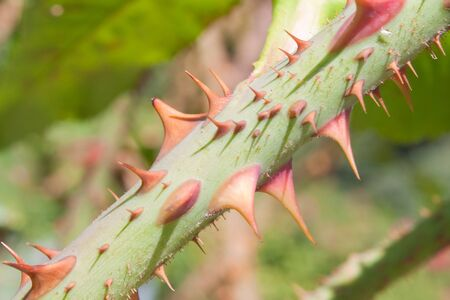 Close up of thorns on rose branch photo