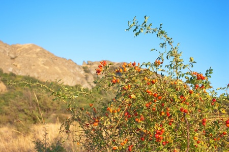 Dry grass and wild ripe rose hip on Karadag mountain. National park, Crimea, Ukraine photo