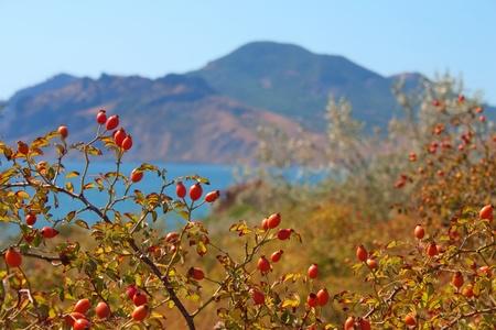 wild ripe rose hip on Karadag mountain. National park, Black sea, Crimea, Ukraine