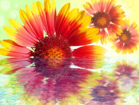 colored gerbera flowers reflected in water Stock Photo - 10905539