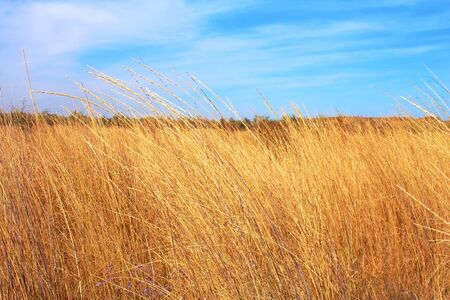 Rural field with yellow dry grass and blue sky photo