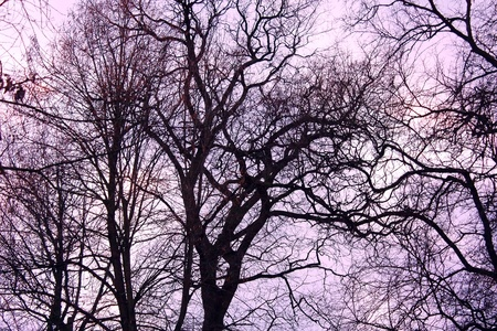Leafless winter trees against purple cloudy sky background photo