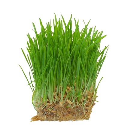 wheat grass growing from the roots isolated on a white background