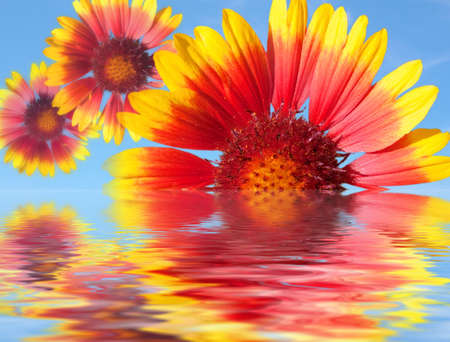 Three Beautiful gerber flowers and reflection on blue sky photo