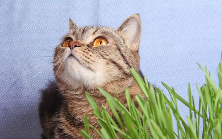 domestic british cat in the grass on blue background photo