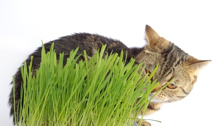 domestic british cat in the grass on white background photo