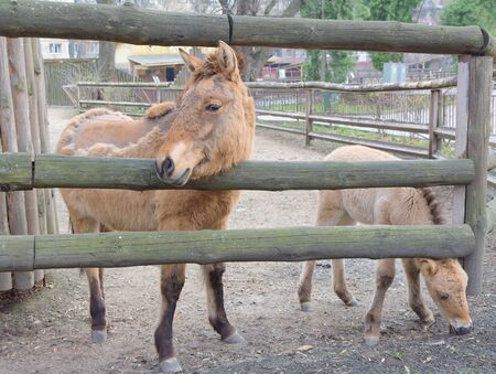 Przewalski's horse or Dzungarian horse Stock Photo - 13208218