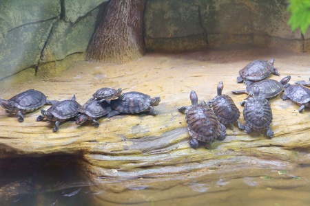 Group of turtles in terrarium in the Kyiv Zoo, Ukraine photo