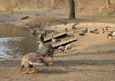 Different geese on the bank of lake  in ZOO, Ukraine Stock Photo - 13657382