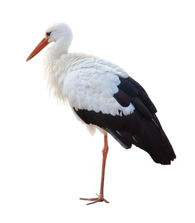 cicogna: Cicogna sulle sue lunghe gambe, isolato su uno sfondo bianco