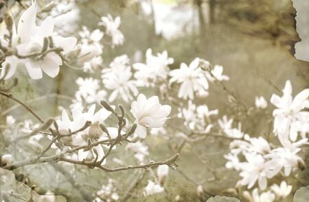 white magnolia flowers close up in a garden in vintage style photo